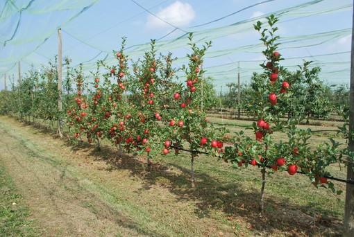 Piante di melo Tessa®, campo di sperimentazione varietale della Fondazione Agrion, Manta (fonte Agrion)