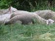 Le pecore riposano