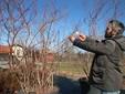 Daniele impegnato nella potatura di una pianta di mirtillo