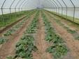 Le zucchine nella prima fase di crescita