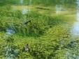 Le trote nell'acqua limpida del laghetto