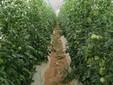 La serra dei pomodori cuore di bue alcuni mesi fa
