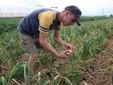Enrico controlla la maturazione dell'aglio