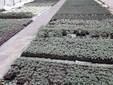 Piantine da orto pronte per essere vendute