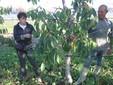 Firmina e Francesco al lavoro tra le piante di ciliegio