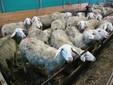Un gruppo di pecore di Razza Sambucana nella stalla di Borgo