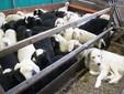 Gli agnelli di due mesi con il cane maremmano