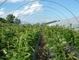 Altre piante di castagno prodotte in campo