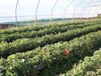 Una serra di fragole fuori suolo