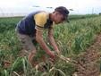 L'aglio quasi pronto per la raccolta
