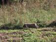 Un maialino a spasso nel verde dell'azienda a Valdieri