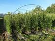 Piante di castagno coltivate in campo