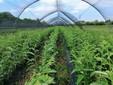 Piante di castagno in campo