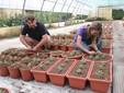 Al lavoro tra le piantine di crisantemi