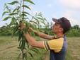 Al lavoro con una pianta di castagno