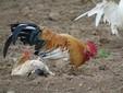 Le galline in libertà