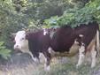 Una mucca si gode la tranquillità dell'alpeggio