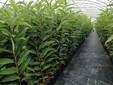 I vasi con le piante di castagno