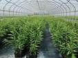 Piante di castagno coltivate in vaso