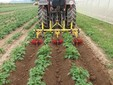 La rincalzatura delle patate