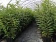 Ancora piante di castagno prodotte in vaso