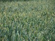Il campo di aglio in primo piano