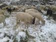 Settembre 2019: alcune pecore al Valasco brucano l'ultima erba rimasta dopo la prima spolverata di neve