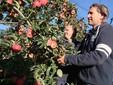 Ugo e Massimo raccolgono mele