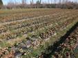 Un campo di fragole piantate a terra
