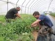 Al lavoro su una fila di altri pomodori