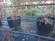 Le piante di mirtilli in vaso