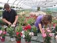 Si curano le piante di dipladenia