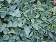 La pianta della batata