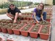Si cura la nuova produzione di crisantemi