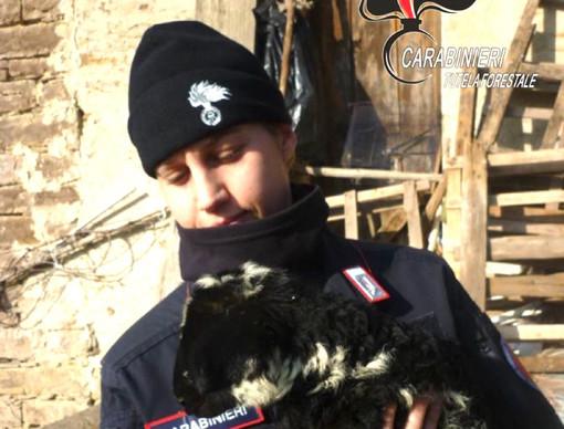 Valle Bormida, allevatore abusivo denunciato per maltrattamento di animali
