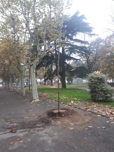 Bra investe sul verde: quindici platani piantati in piazza Roma