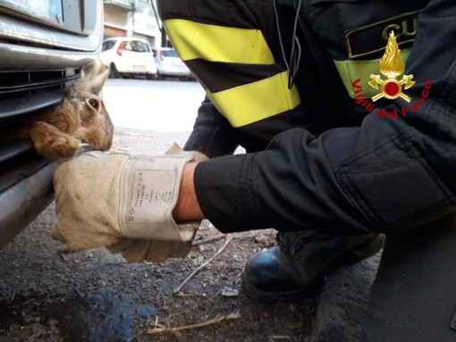 I Vigili del fuoco al lavoro per liberare la lepre dall'auto in via Silvio Pellico
