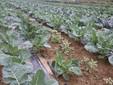 Un terreno coltivato a cavoli
