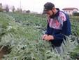Al lavoro nella coltivazione dei cardi