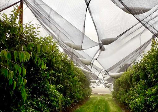 Grandine e maltempo, Coldiretti Cuneo denuncia danni fino al 100% su kiwi, mele e pesche del fossanese