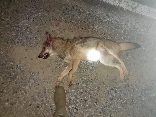 Il corpo del cucciolo investito lungo la Provinciale 10 a Sommariva Perno