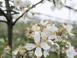 Il fiore del melo con i petali 'bruciati' dal gelo