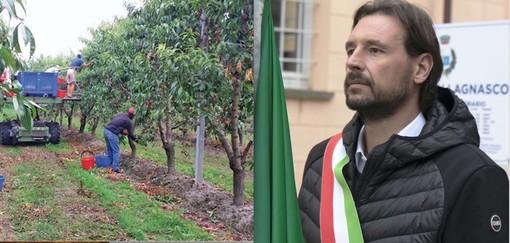 La raccolta della frutta e il sindaco del Comune di Lagnasco, Roberto Dalmazzo