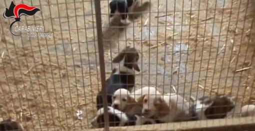 """Operazione """"Nero Wolf"""": traffico illecito di cuccioli di cane, due uomini a processo"""
