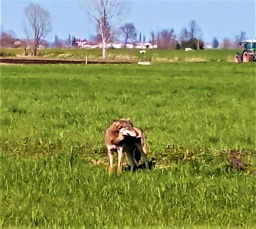 Il recente avvistamento di un lupo nelle campagne tra Saluzzo e Cardè