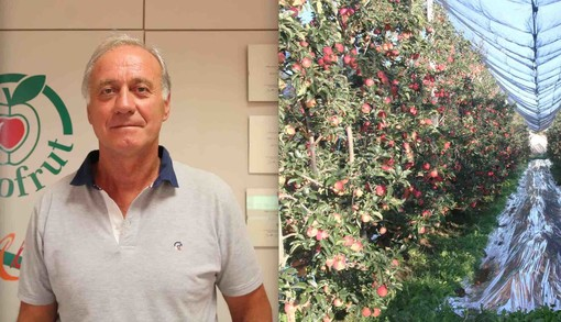 Il presidente dell'Associazione Organizzazioni Produttori (Aop) del Piemonte, Domenico Sacchetto, e un impianto di mele da raccogliere