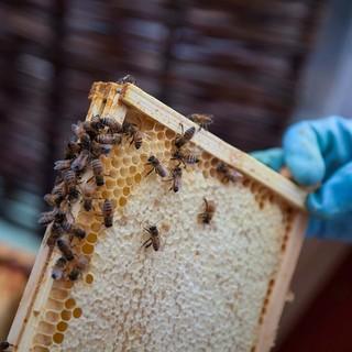 Giornata mondiale delle api: il consumo di miele cresce ma gli apicoltori cuneesi non sorridono