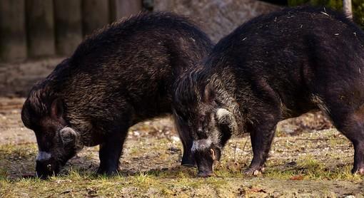 Emergenza cinghiali, Coldiretti Piemonte chiede di prolungare il periodo di caccia