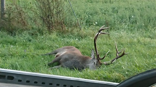 Cervo reale investito e ucciso nei pressi di Demonte: è il secondo in due settimane