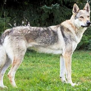 A branchi si aggirano, anche sulle nostre colline, le paure, globalizzate... Attenti al lupo!!! Sempre!